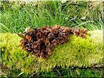 NS4883 : Leafy Brain Fungus by Lairich Rig