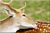 TQ3643 : Fallow Deer at the British Wildlife Centre, Newchapel, Surrey by Peter Trimming