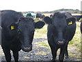 SW6715 : Dexter cattle at Predannack by Rod Allday