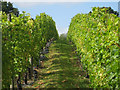 TQ8028 : Vineyard at Hoad's Farm by Oast House Archive