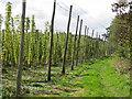 TQ8029 : Hop Field, Hoad's Farm by Oast House Archive