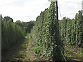 TQ8129 : Modern Hop Field by Oast House Archive