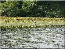 NS2209 : Heron on the Swan Pond, Culzean Estate by Humphrey Bolton