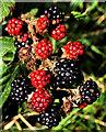 J4580 : Blackberries near Bangor by Albert Bridge