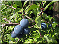 TQ7144 : Sloes in Hedgerow by Oast House Archive
