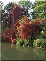TQ0380 : Virginia Creeper, Grand Union Canal by Derek Harper