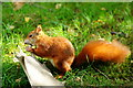 TQ3643 : Red Squirrel Chewing Antlers by Peter Trimming