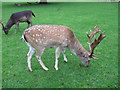 NZ2334 : Fallow Deer, Whitworth Hall Country Park by Alex McGregor