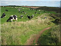SW7113 : Friesian cattle near Cadgwith by Philip Halling