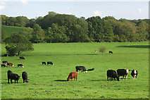 TQ4650 : Field of Cows by Oast House Archive