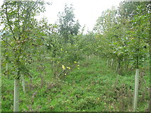 ST5158 : Organic orchard at Lag Farm by Dr Duncan Pepper