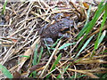 SW7923 : Young common toad by Philip Halling