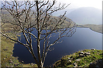 NY2807 : Rowan tree on Pavey Ark by Ian Taylor