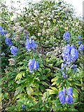 SX8953 : Aconite, Monkshood or Wolfsbane ( Aconitum napellus) by Tom Jolliffe