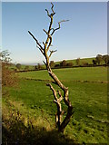 SD8948 : Dead tree near the Leeds Liverpool Canal by Andrew Abbott