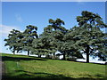 SP4316 : Trees in Blenheim Park by Paul Gillett