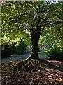 ST3087 : Liquid Amber tree, Belle Vue Park by Robin Drayton