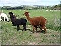 NT9503 : Alpacas in paddock at Sharperton by Ian Drummond