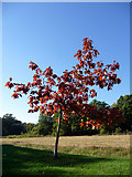 TQ3095 : Scarlet Oak, Oakwood Park, London N14 by Christine Matthews