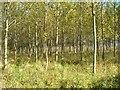 SP3354 : Plantation near Bishop's Gorse Farm by David P Howard