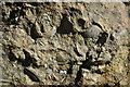 SK7605 : Fossils in Tilton Railway Cutting by Ashley Dace