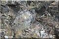SK7605 : Brachiopod Fossil by Ashley Dace