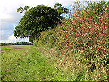 TM3995 : Hawthorn berries in hedgerow by Evelyn Simak