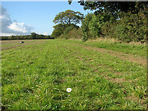 TM3995 : Solitary oxeye daisy on the footpath to Hales by Evelyn Simak