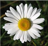 TM3995 : Oxeye daisy flower by Evelyn Simak
