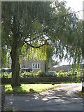 ST8488 : Weeping Willow, Willesley by Michael Westley
