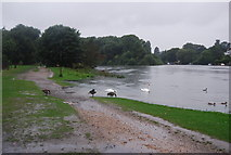 TQ1673 : Geese, swans, local flooding and the Thames Path by N Chadwick