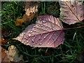 SX7978 : Raindrops on leaf, B3387 by Derek Harper