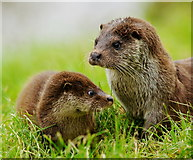 TQ3643 : Otters at the British Wildlife Centre, Newchapel, Surrey by Peter Trimming