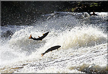 NT4427 : Leaping salmon at Murray's Cauld, Philiphaugh by Walter Baxter
