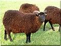 NZ0493 : Hebridean Sheep at Fontburn Rare Breeds Farm by Joan Sykes