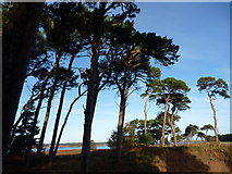 NT6378 : East Lothian Landscape : The Hedderwick Pines by Richard West