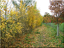 TG2202 : Autumnal trees beside the path to Dunston Common by Evelyn Simak