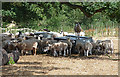 SJ5305 : Sheep, Eaton Mascott (2) by Stephen Richards