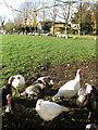 TM2689 : Free-range turkeys at Darrow Green Farm by Evelyn Simak