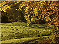 NH5292 : Autumn sheep parade! by sylvia duckworth