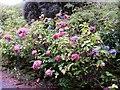 NC0403 : Hydrangea in Achduart Old School's Garden by Hilmar Ilgenfritz