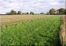 TM1585 : A wide grassy field margin beside Glebe Road, Tivetshall St Mary by Evelyn Simak