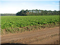 TF7510 : Sugar beet at Narborough Field by Evelyn Simak