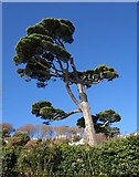 SX7338 : Pine, Salcombe by Derek Harper
