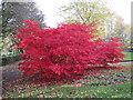 NZ3164 : Maple/Acer Trees in Carr Ellison Park, Hebburn by Les Hull