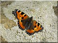 SO0571 : Small tortoiseshell butterfly by Penny Mayes