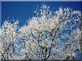 SP2972 : Detail of frost-covered trees, Cherry Orchard by John Brightley