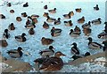 SK3582 : On Frozen Pond - ducks in Graves Park, Sheffield by Neil Theasby