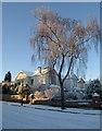 SX9065 : Snowy birch, Parkhurst Road, Torquay by Derek Harper