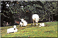 NY6819 : White Park cattle by Appleby Castle by Evelyn Simak